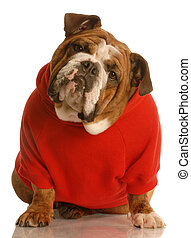 adorable english bulldog sitting wearing red sweater isolated on white background
