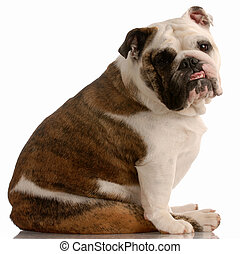 adorable english bulldog with cute expression on white background