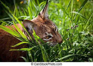 Adorable Eurasian Lynx, portrait at summer field - Beautiful...