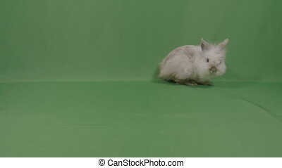 Adorable fluffy baby bunny rabbit looking curious sniffing around on green background in studio