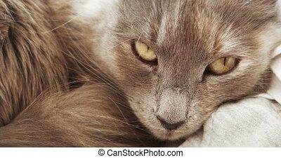 Adorable fluffy gray cat muzzle closeup. Cute cat sleeping.