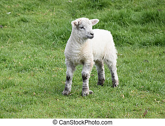 Adorable Fluffy Lamb in a Field on a Farm