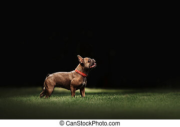 adorable french bulldog dog in a collar standing on grass
