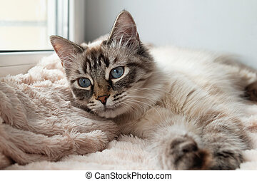 Adorable furry cat of seal lynx point color with blue eyes is resting on a pink blanket near to the window.