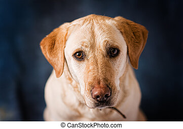 adorable golden lab with sad brown eyes