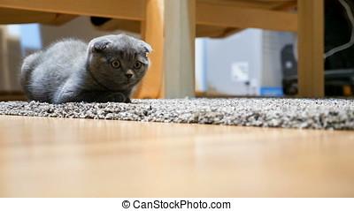 Adorable gray scottish fold kitten sitting on the floor....