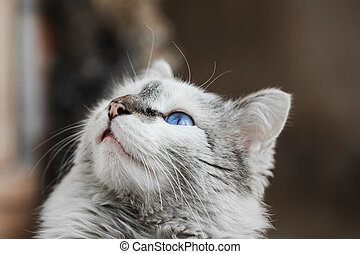 adorable gray soft fure cat with incredible blue eye - white...