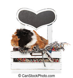 adorable guinea pig resting on its wooden bed