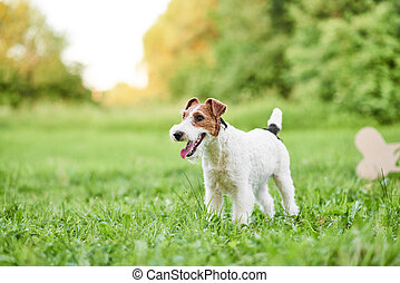 Adorable happy fox terrier dog at the park 2018 new year...