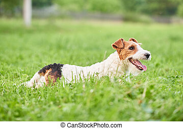 Adorable happy fox terrier dog at the park - Shot of a...