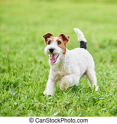 Adorable happy fox terrier dog at the park - Wire fox...
