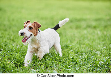 Adorable happy fox terrier dog at the park - Young wire fox...