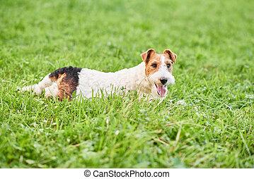 Adorable happy fox terrier dog at the park - Adorable fox...
