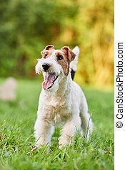 Adorable happy fox terrier dog at the park - Vertical...