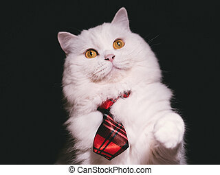 Adorable Highland Straight breed Cat. White color with magic yellow eyes and red tie on Isolated Black Background. Playful kitten.