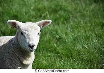 Adorable Lamb with a Very Cute Face in a  Field