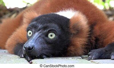 Adorable Lemur Or Wildlife