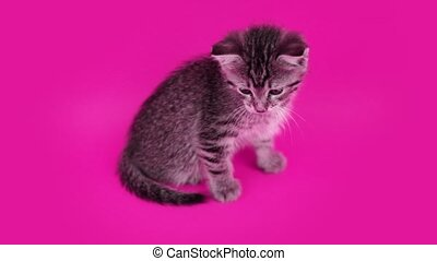 Adorable domestic cat with wide dark stripes moves head left and right actively sitting on pink studio background close view