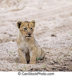 Adorable Lion Cub sitting in the Sand of a Riverbed in South Africa