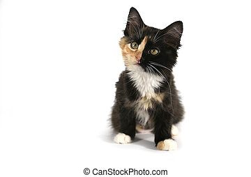Adorable Long Haired Domestic Kitten With a Split Face