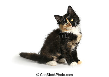 Adorable Long Haired Domestic Kitten With a Split Face -...