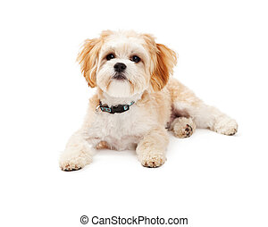 Adorable Maltese Mix Breed Dog Laying - Adorable Maltese Mix...