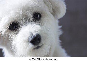 Adorable Maltese