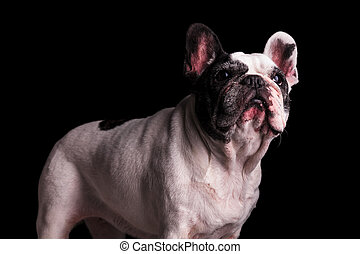 adorable nine years old french bulldog female standing on...
