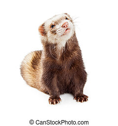 Adorable Pet Ferret Looking Up