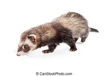 Adorable Pet Ferret Sniffing Floor