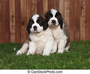Adorable Portrait of Saint Bernard Puppies. Image is slightly soft.