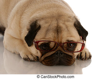 adorable pug dog with sad expression wearing brown glasses