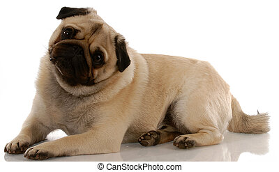 adorable pug laying down with reflection on white background