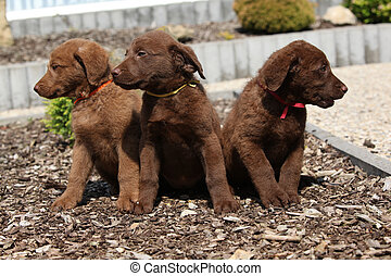 Adorable puppies of chesapeake bay retriever in the garden