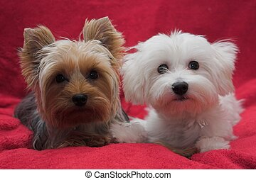 The darling pair of adorable puppies - Yorkshire Terrier and Maltese