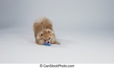 Adorable pygmy Pomeranian Spitz plays with his toy in the studio on a gray background. The pet chews on a pink blue rubber toy and tries to grab it with its teeth. The concept of cute pets. Slow motion. Close up.