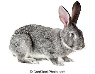 Adorable rabbit - Image of cute grey rabbit isolated over...