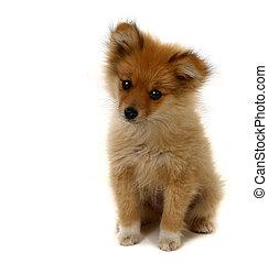 adorable, regarder, pomeranian, chiot
