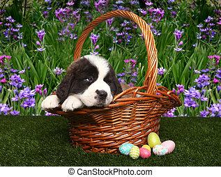 Adorable Saint Bernard Puppy Portrait
