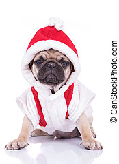 adorable santa pug puppy is ready for christmas
