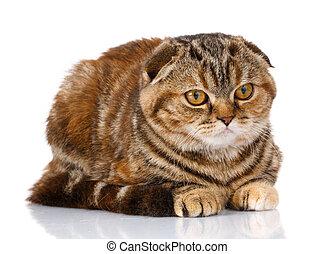 Scottish Fold cat lying isolated on white background