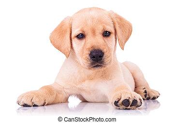 adorable seated labrador retriever puppy dog