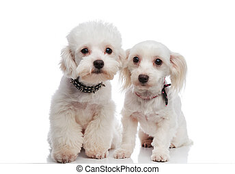 adorable seated white bichon couple ready for a walk