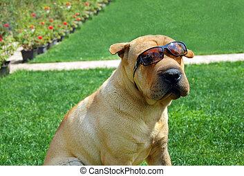 Adorable Shar Pei in sunglasses - adorable shar pei portrait...