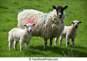 Adorable Sheep Family Standing in a Spring Field