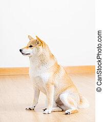 Adorable shiba at home