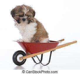 shih tzu puppy - adorable shih tzu puppy sitting in a...
