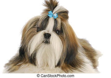 shih tzu - adorable shih tzu puppy with blue bow on white...