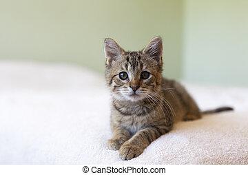 tabby kitten - adorable shorthair gray tabby kitten relaxing...