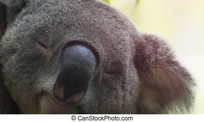 Adorable, Sleeping Koala in Extreme Closeup - Extreme ...